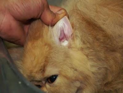 Membersihkan lubang telinga kucing