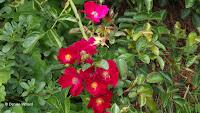 Red flower carpet, Elizabeth Park - West Hartford, CT