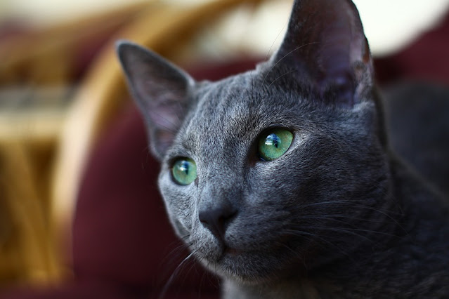 7 Grey Cat Breeds That Look Completely Mesmerising | Purina