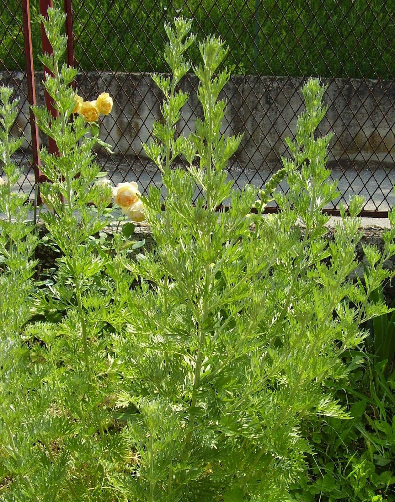 Combattere Afidi Delle Rose verycountrypeople: per combattere afidi ed altri parassiti