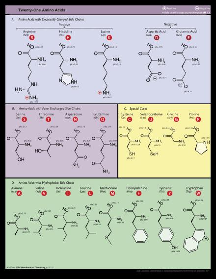 amino acide