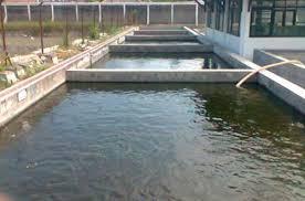 Jenis Kolam Yang Baik Untuk Ikan Gurame Agar  Cepat Besar Serta Syarat Kolam Yang Baik Untuk Ikan Gurame