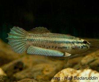 Jenis Ikan Cupang Spesies Betta Prima