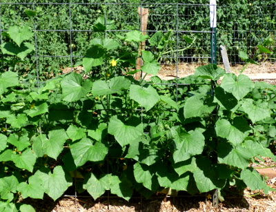 Cucumbers on cattle panel trellis.