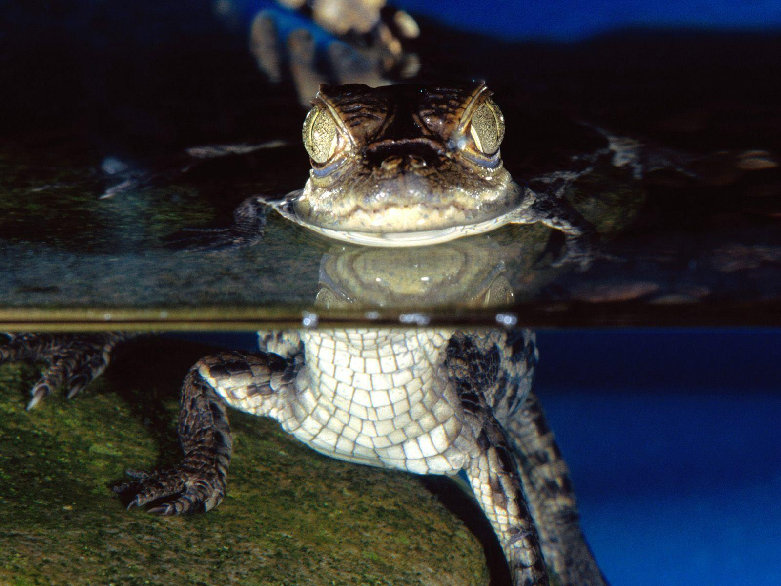 little alligator wallpapers, animal wallpapers