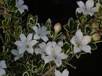 花 つぼみ