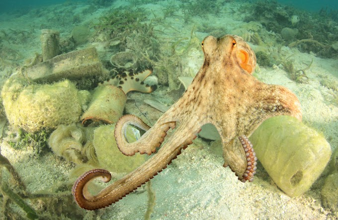 Умение осьминогов различать вкус связано с присосками на их щупальцах