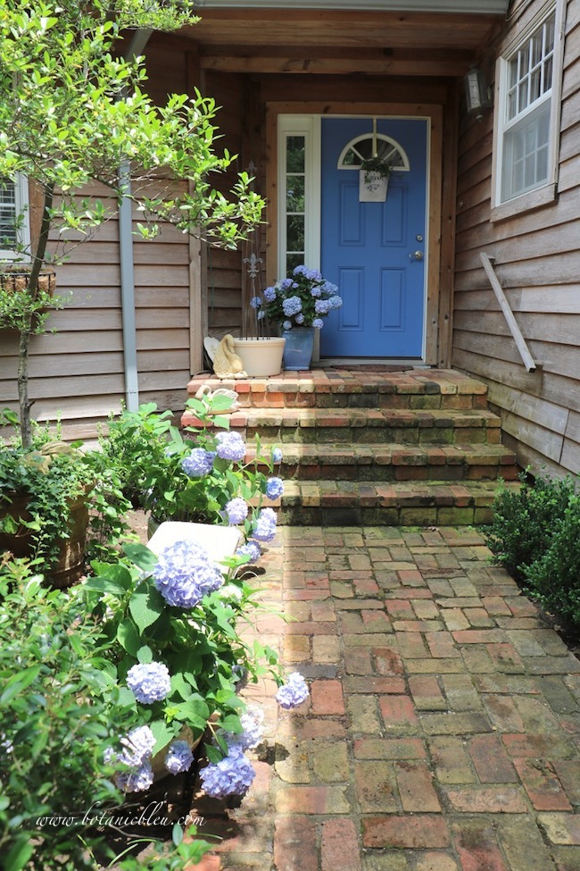 Summer Courtyard Blue Hydrangeas along antique brick sidewalk receive too much sun
