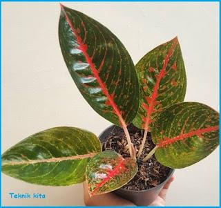 Aglaonema Adelia Hybrid Lokal