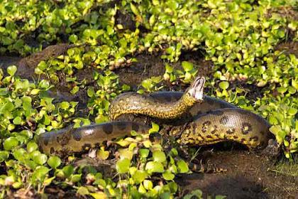 10 Ular Terbesar dan Terpanjang Di Dunia, Anaconda Nomer Berapa?