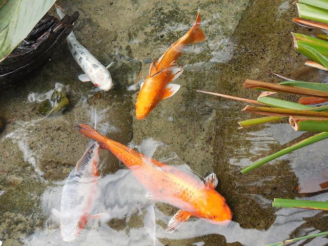 8 Cara Mengatasi Air Kolam Ikan Koi Yang Berwarna Hijau Arafuru