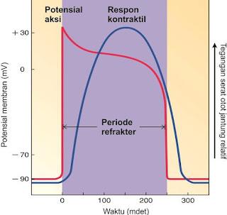 Hubungan dari potensial aksi dan periode refrakter terhadap durasi respon kontraktil di otot jantung