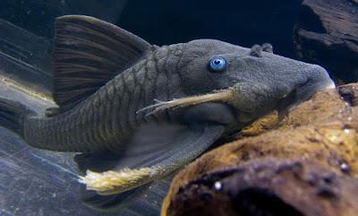 Ikan Sapu-Sapu Panaque cochliodon ( Blue Eyed Pleco )