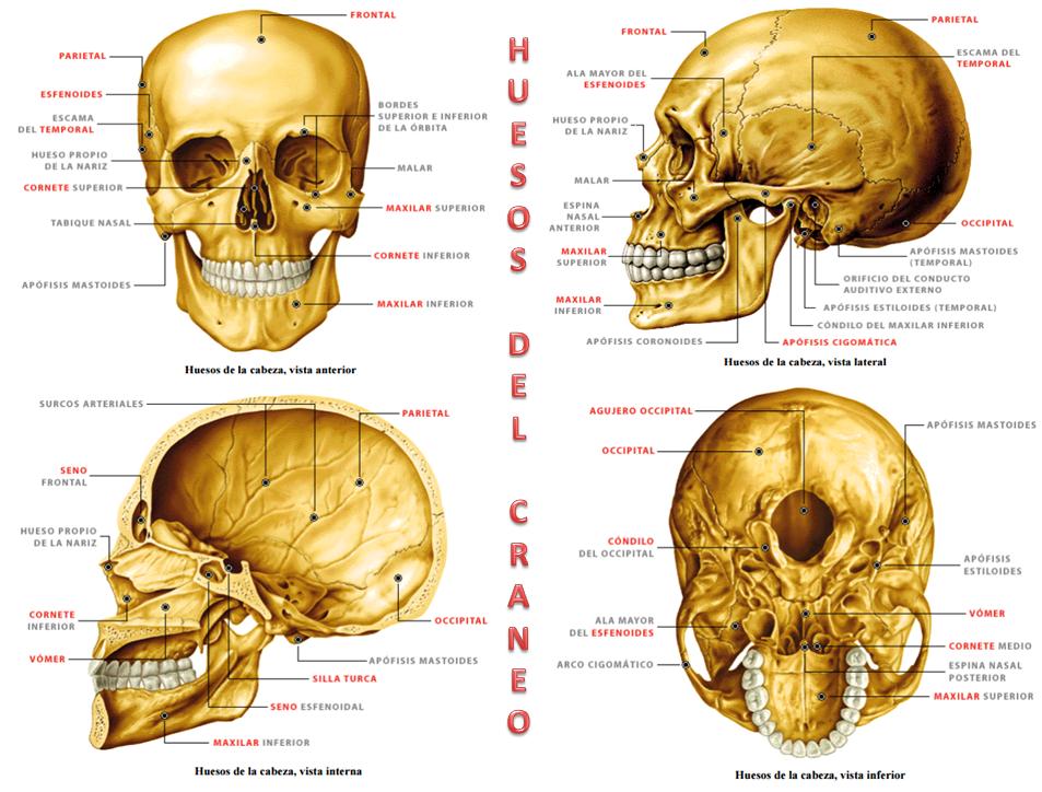 Moderno Cráneo Hoja De Cálculo De La Anatomía Ornamento - Anatomía ...