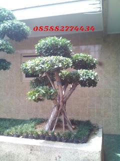 jual pohon bonsai beringin korea | beringin dollar dengan harga paling murah