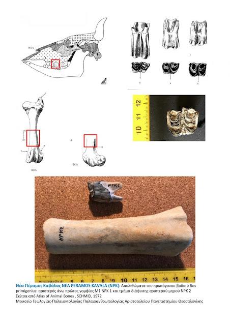 Καβάλα: Βρέθηκαν απολιθώματα προϊστορικού βοδιού στη Νέα Πέραμο