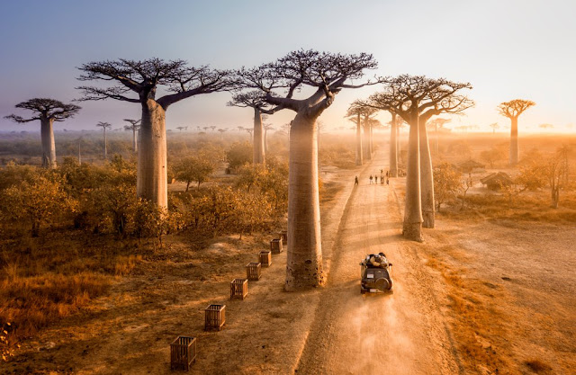 POHON UNIK avenue of the baobabs