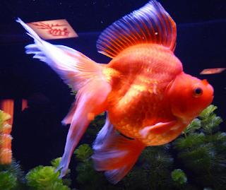 dan menikmati pengalaman menonton salah satu ikan mas glamor lebih lingkaran atau berbentuk te Kabar Terbaru- IKAN MAS KOKI RYUKIN