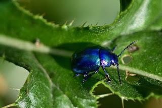 Goliath Beetle heaviest creepy on planet