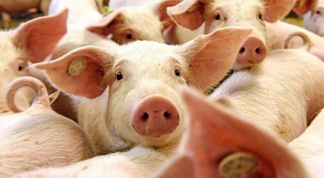 Ternak babi