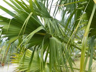 Sabal domingensis - Sabal d'Hispaniola