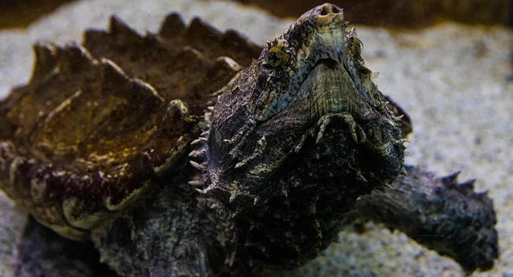 SCI-TECH : Des tortues ressemblant à des dinosaures attrapées en Floride – photos