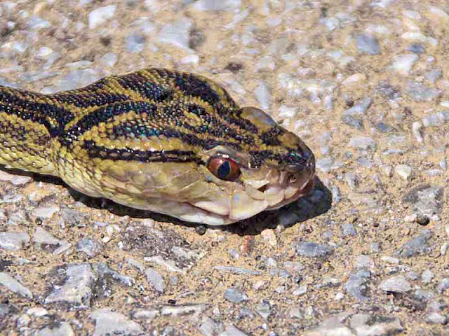 Snake found on Miyagi Island