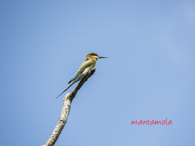 Blue-tail bee-eater (Merops philippinus)