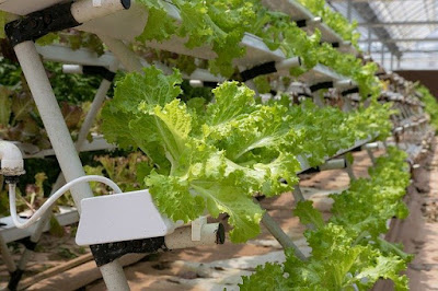 bisnis pertanian hidroponik