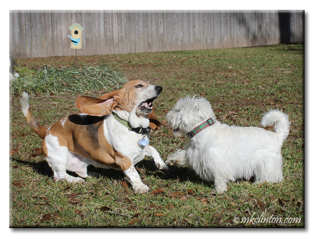 Bentley Basset Hound and Pierre Westie are having fun playing