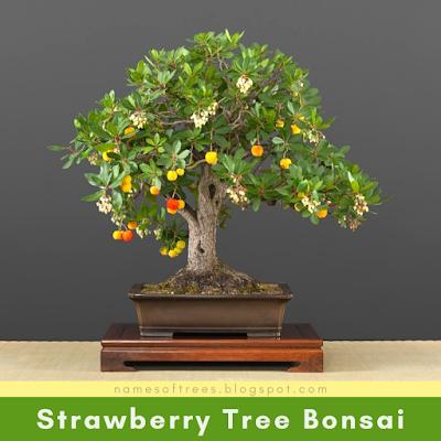 Strawberry Tree Bonsai