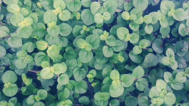 Budidaya Tanaman Creeping Charlie, Pilea Nummulariifolia