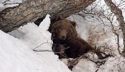 beruang cokelat atau beruang grizzly
