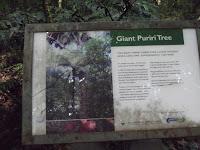 The 2,000 year-old Puriri tree sign - Pukekura Park, New Plymouth, New Zealand