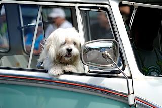 cães no carro