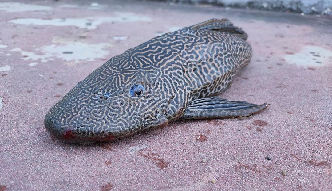Ikan Tidak Disukai Pemancing Sungai di Malaysia