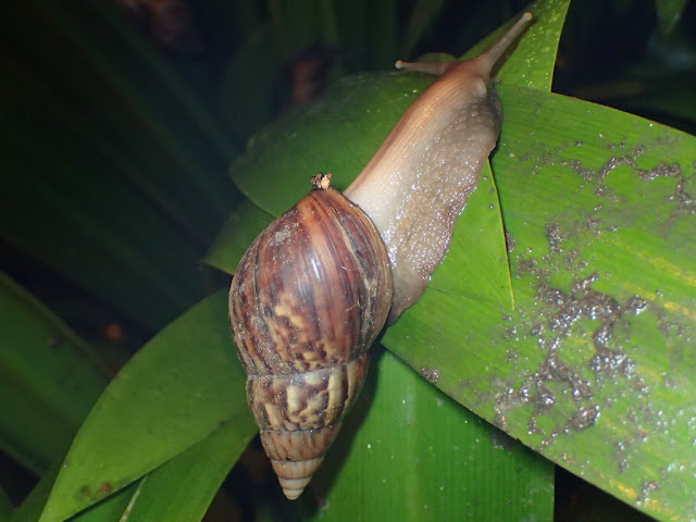 Lissachatina fulica