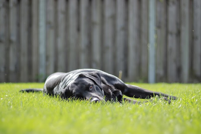 Can Labradors dogs Sleep Outside?