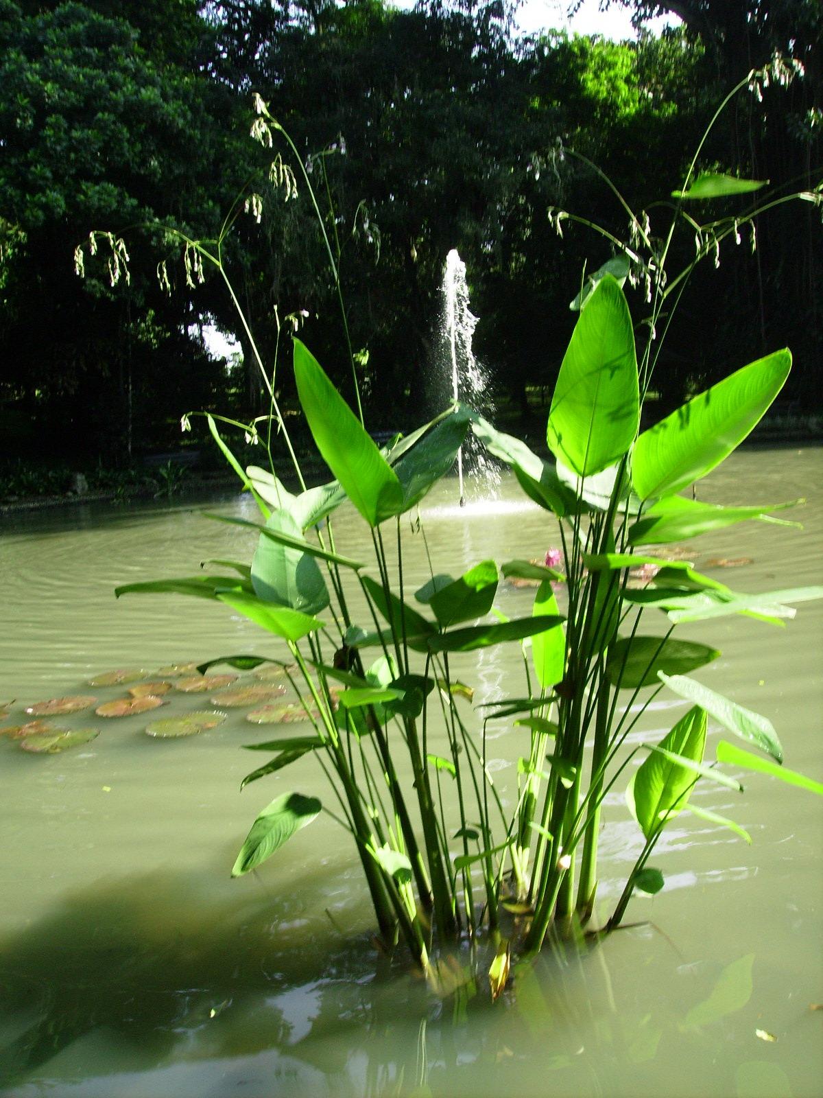 IKAN KONSUMSI  IKAN HIAS SUKABUMI Definisi Tumbuhan Air