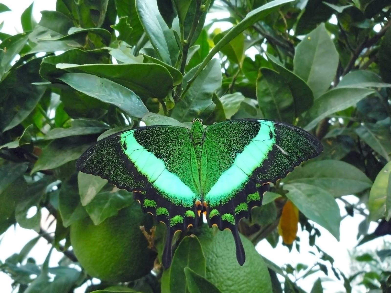 Gli insetti farfalla for Foto farfalle colorate