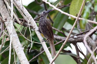 Melitograis gilolensis