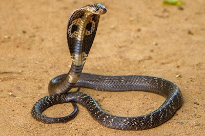 Gambar Ular King Cobra Liar