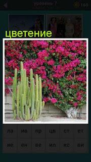 показано цветение кактусов и красных цветов во всю стену 667 слов