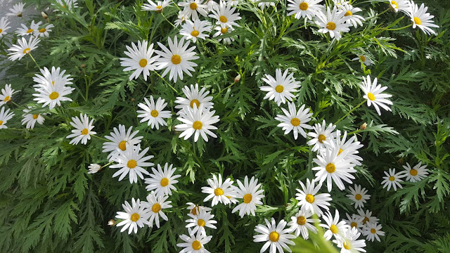 Daisies in December
