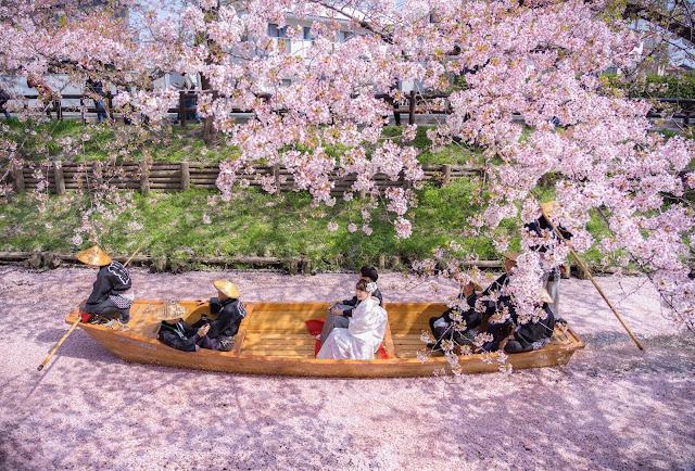 川越,桜,春