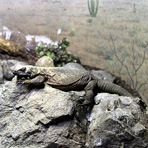chuckwalla sitting on a rock