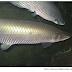 Planejamento da conservação na Amazônia deve priorizar biodiversidade aquática, indica estudo