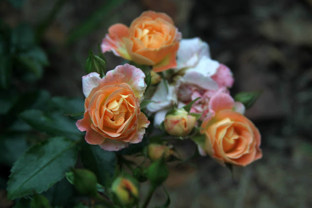 Peach Drift Rose, roses, garden, gardening, Anne Butera, My Giant Strawberry