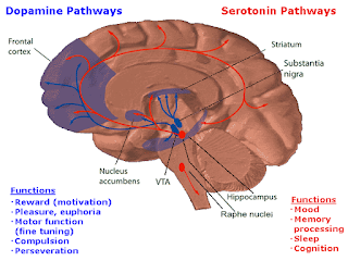 An illustration of how scientists believe the dopamine and  serotonin neurotransmitters affect brain function
