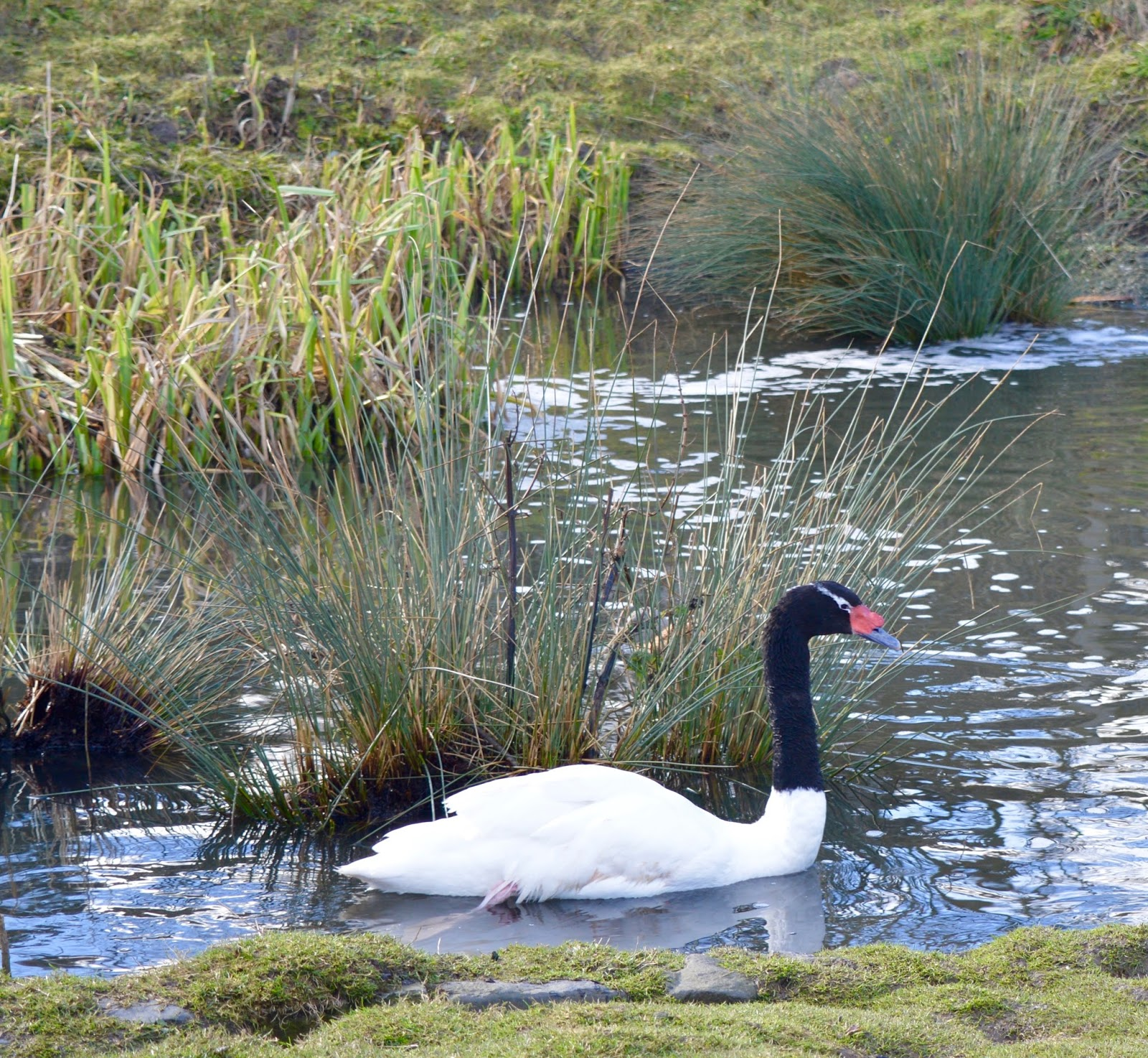 WWT Washington Wetland Centre | An Accessible North East Day Out for the Whole Family - swan